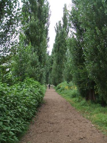12 ポプラ並木