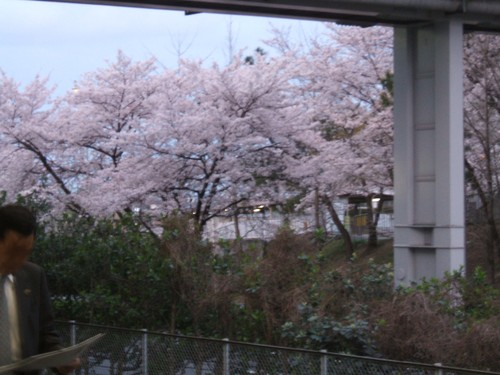 00 自宅近くの桜